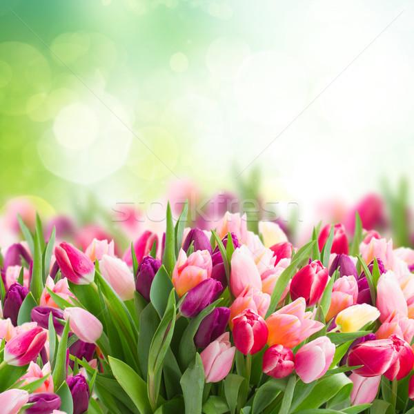 розовый тюльпаны зеленый саду цветок Сток-фото © neirfy