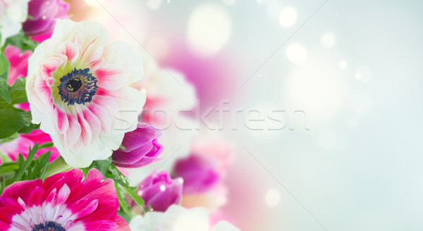 anemone flowers on blue Stock photo © neirfy