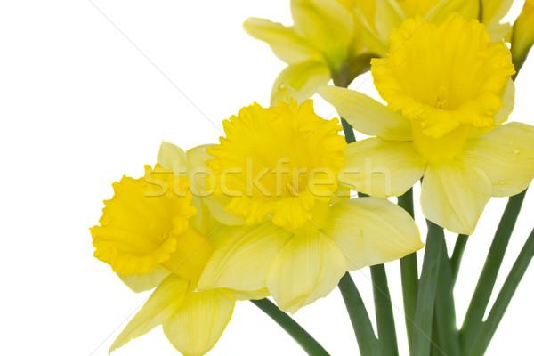 daffodil flowers Stock photo © neirfy