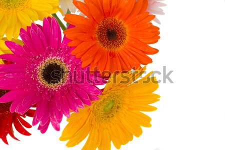 border of gerbera flowers Stock photo © neirfy