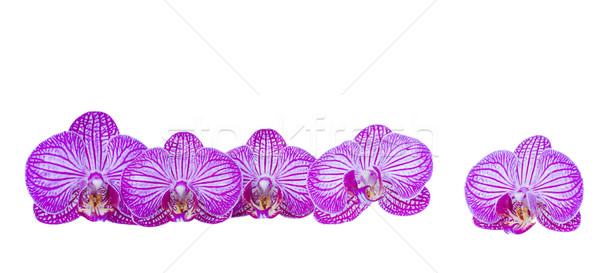 flowers of orchid border Stock photo © neirfy