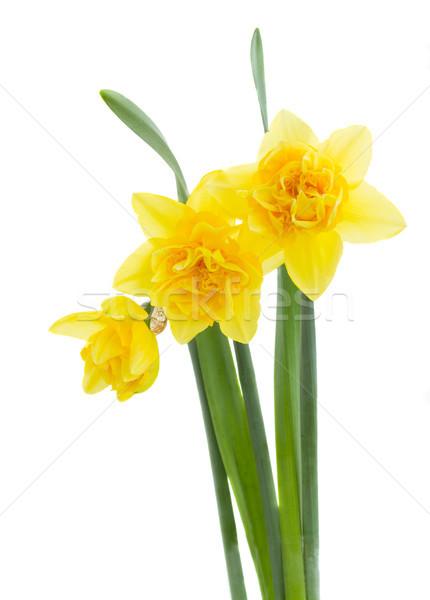 3  黄色 スイセン 花 孤立した 白 ストックフォト © neirfy