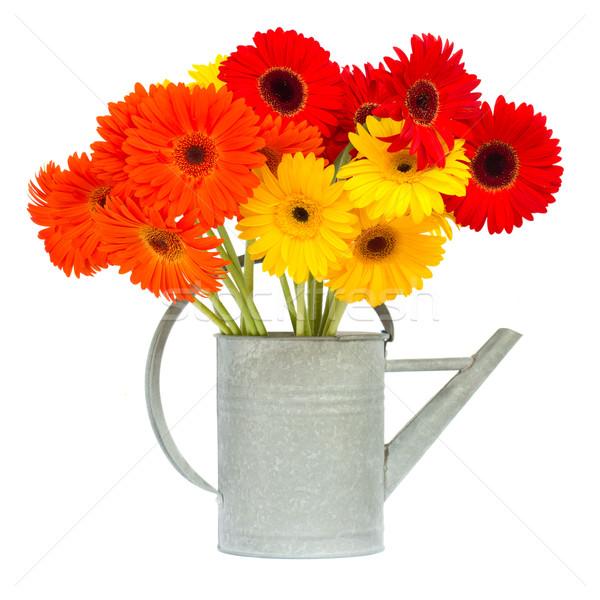 gerbera flowers in gray watering can Stock photo © neirfy