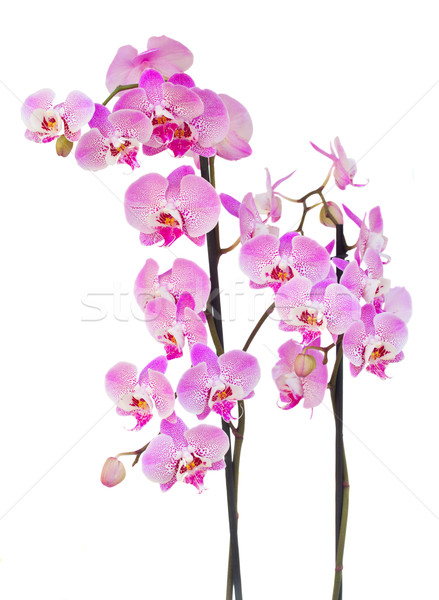 pink  orchid branch Stock photo © neirfy