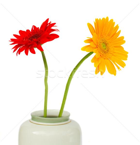 two  gerbera flowers Stock photo © neirfy