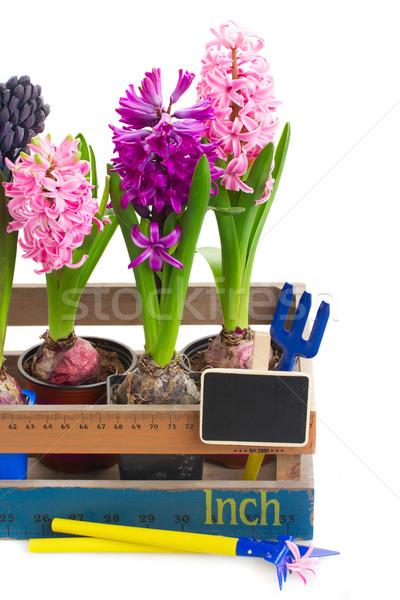 Foto stock: Jacinto · rosa · violeta · flores