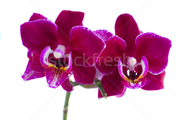 Two violet orchids  Stock photo © neirfy