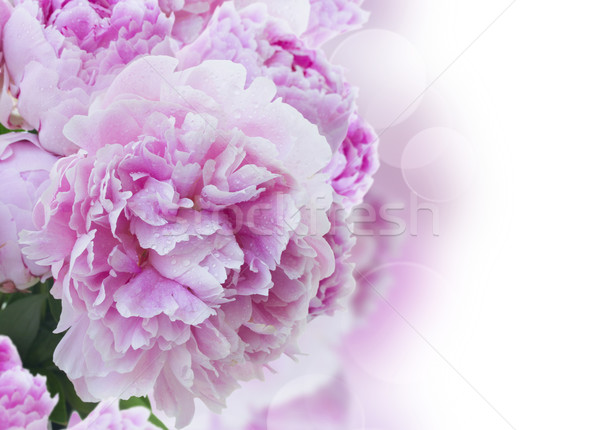 pink peonies border Stock photo © neirfy