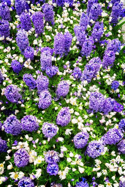 Azul jacinto holandês parque Holanda Foto stock © neirfy