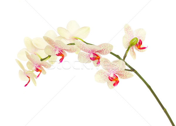 Stock photo: white with violet fragil orchid flowers