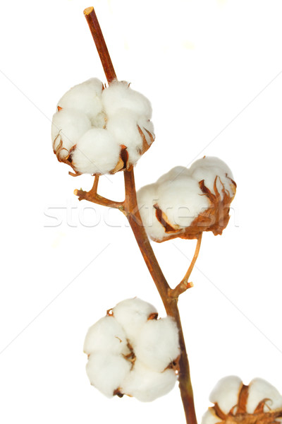 Cotton plant over white background Stock photo © neirfy