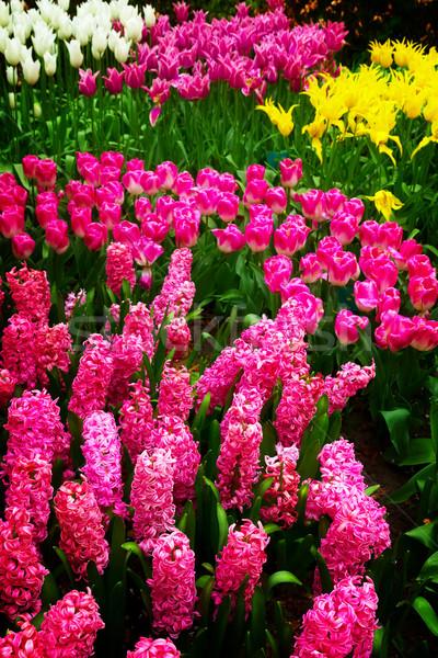 Pink hyacinth flowers background Stock photo © neirfy