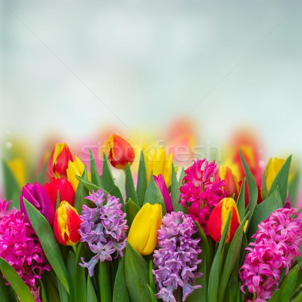 Tulipas rosa violeta fresco flores fronteira Foto stock © neirfy