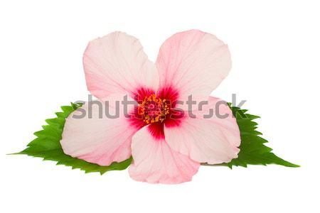 Hibiszkusz virág rózsaszín izolált fehér szeretet Stock fotó © neirfy