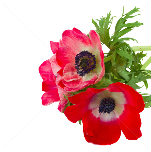 red anemone flowers Stock photo © neirfy