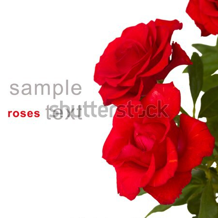 scarlet roses close up Stock photo © neirfy
