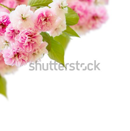 Stock photo: Blossoming cherry tree   Flowers