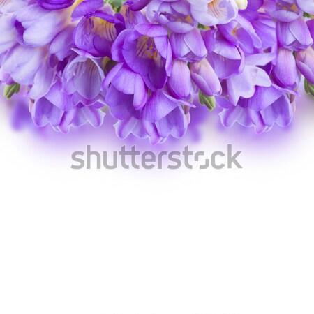 violet freesias flowers  border Stock photo © neirfy
