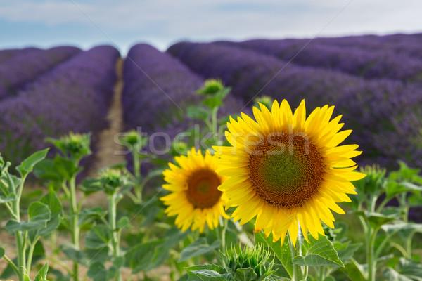 Napraforgó levendula mező levendula virágok mező természet Stock fotó © neirfy
