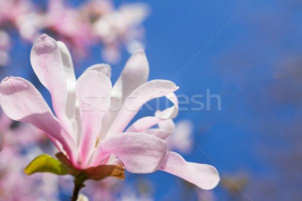 Magnólia flor árvore flores azul Foto stock © neirfy