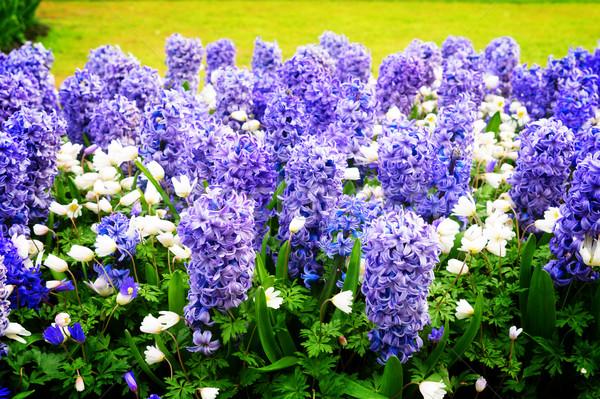 青 ヒヤシンス 花壇 オランダ語 公園 オランダ ストックフォト © neirfy