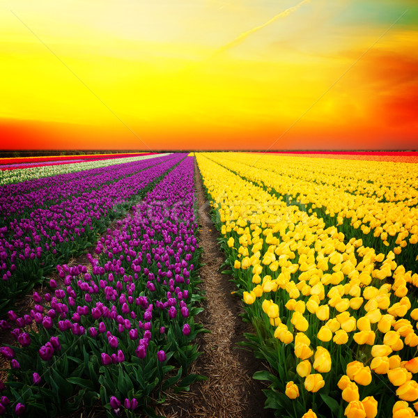Dutch yellow and violet tulip fields in sunny day Stock photo © neirfy