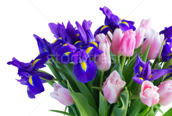 Blue irises and pik tulips Stock photo © neirfy