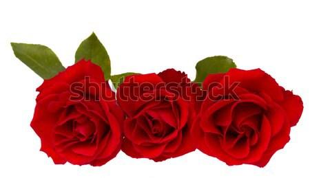 three red  roses Stock photo © neirfy