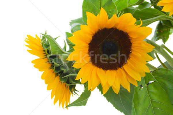Stockfoto: Geel · zonnebloemen · geïsoleerd · witte · zon