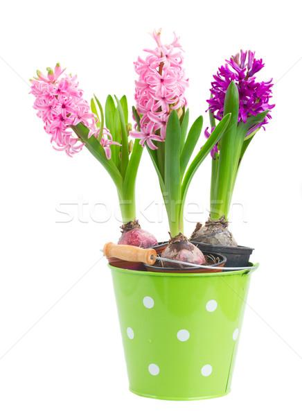 Hyacinths flowers Stock photo © neirfy