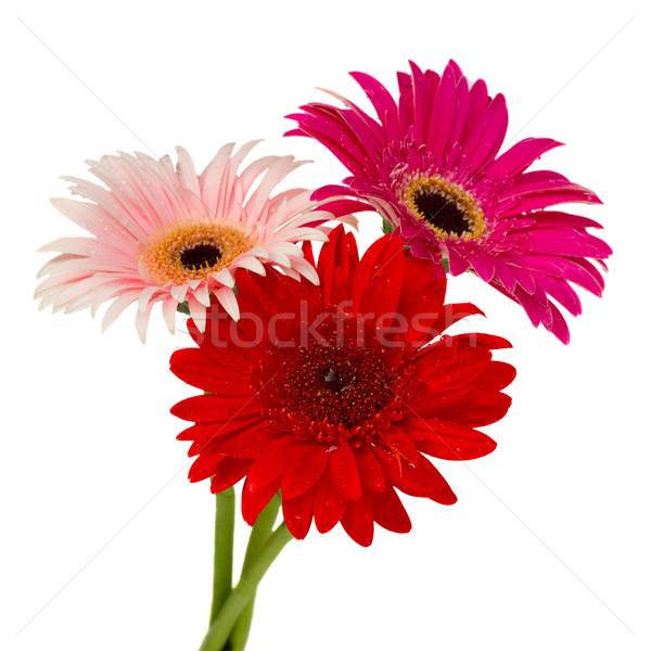 posy of gerbera flowers Stock photo © neirfy