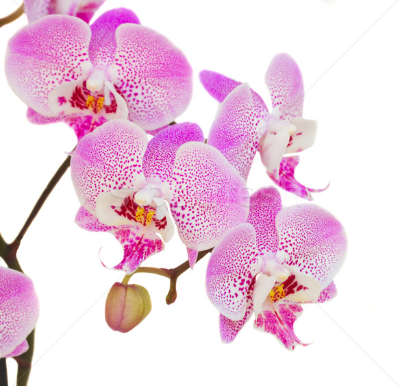 orchid branch close up Stock photo © neirfy