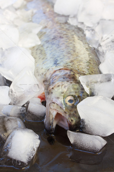 fresh trout Stock photo © neirfy
