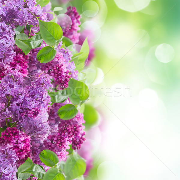 Буш сирень цветы зеленый саду bokeh Сток-фото © neirfy