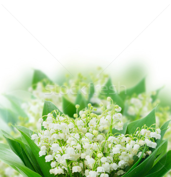 Lilly of valley Stock photo © neirfy