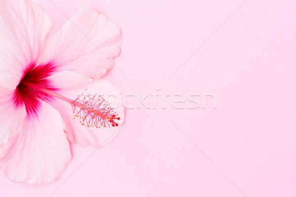 Wellness hibiszkusz virág friss rózsaszín tavasz Stock fotó © neirfy