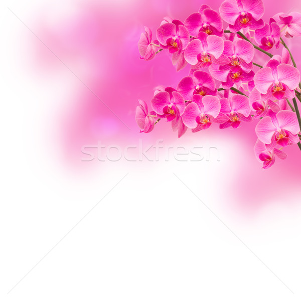 purple orchid  flower branches Stock photo © neirfy