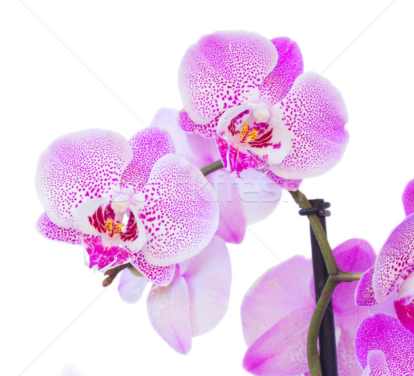 Stock photo: violet orchid branch close up