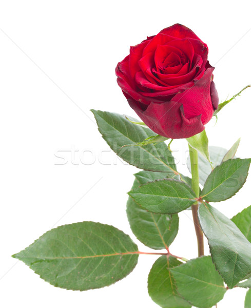 one scarlet red rose Stock photo © neirfy