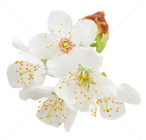 Virágzó almafa virágok közelkép fehér tavasz Stock fotó © neirfy