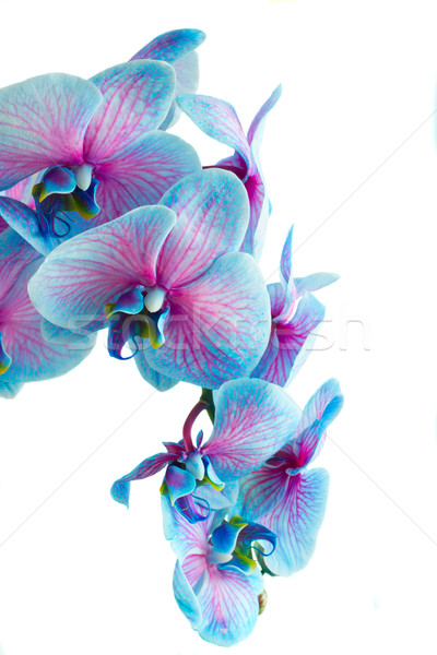 Stengel Blauw orchideeën geïsoleerd witte Stockfoto © neirfy