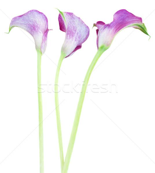 three Calla lilly Stock photo © neirfy