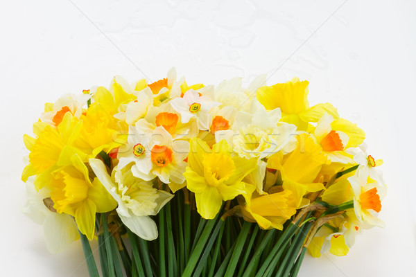 Fresco primavera narcisos luz escuro amarelo Foto stock © neirfy