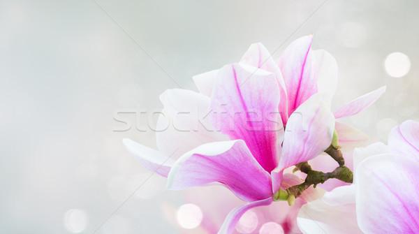 розовый магнолия цветы веточка свежие Сток-фото © neirfy