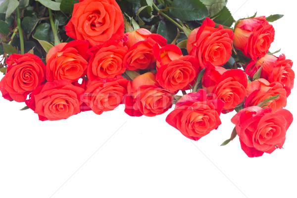 Parlak turuncu güller yalıtılmış beyaz Stok fotoğraf © neirfy