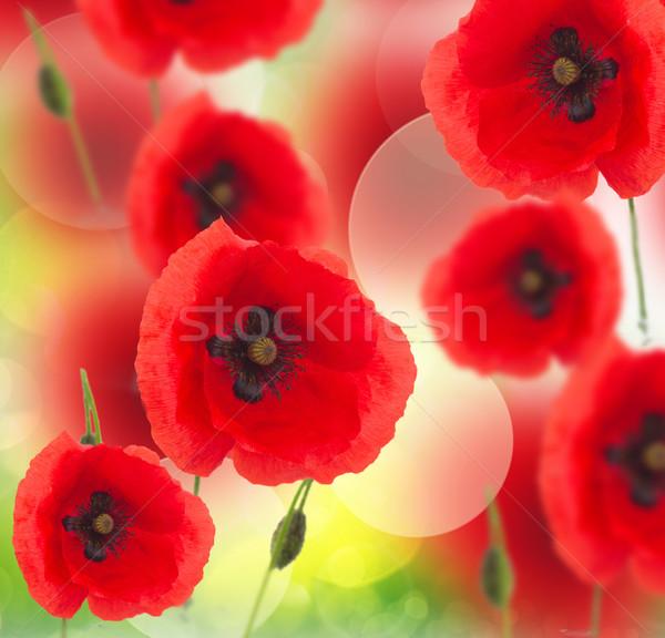 Veld poppy bloemen Rood voorjaar Stockfoto © neirfy