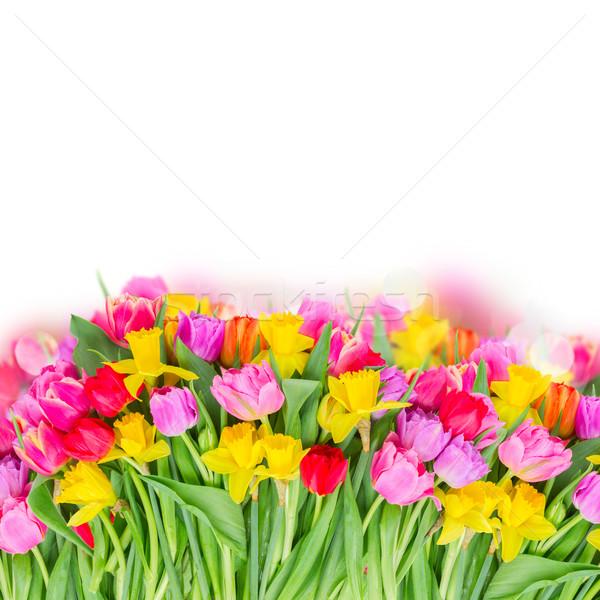 Bukiet różowy fioletowy czerwony tulipany Zdjęcia stock © neirfy