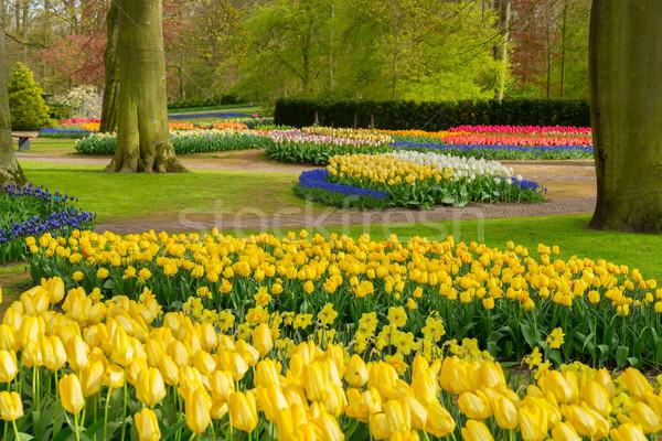 Formalny wiosną ogród kolorowy tulipany Zdjęcia stock © neirfy