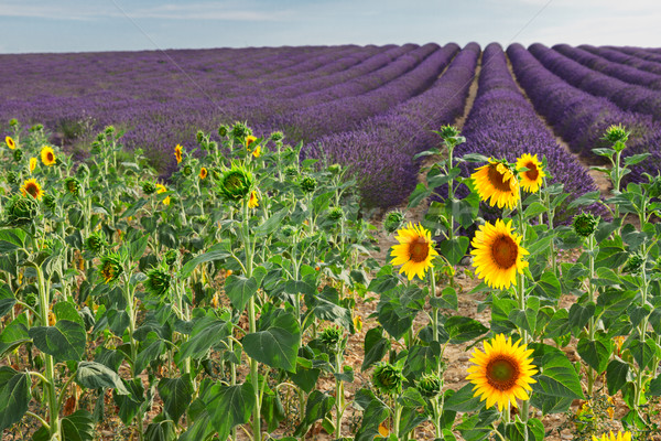 Sunflower and Lavender field Stock photo © neirfy