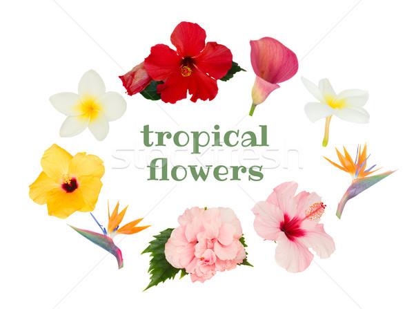 Turuncu ebegümeci çiçek tropikal çiçek mavi Stok fotoğraf © neirfy